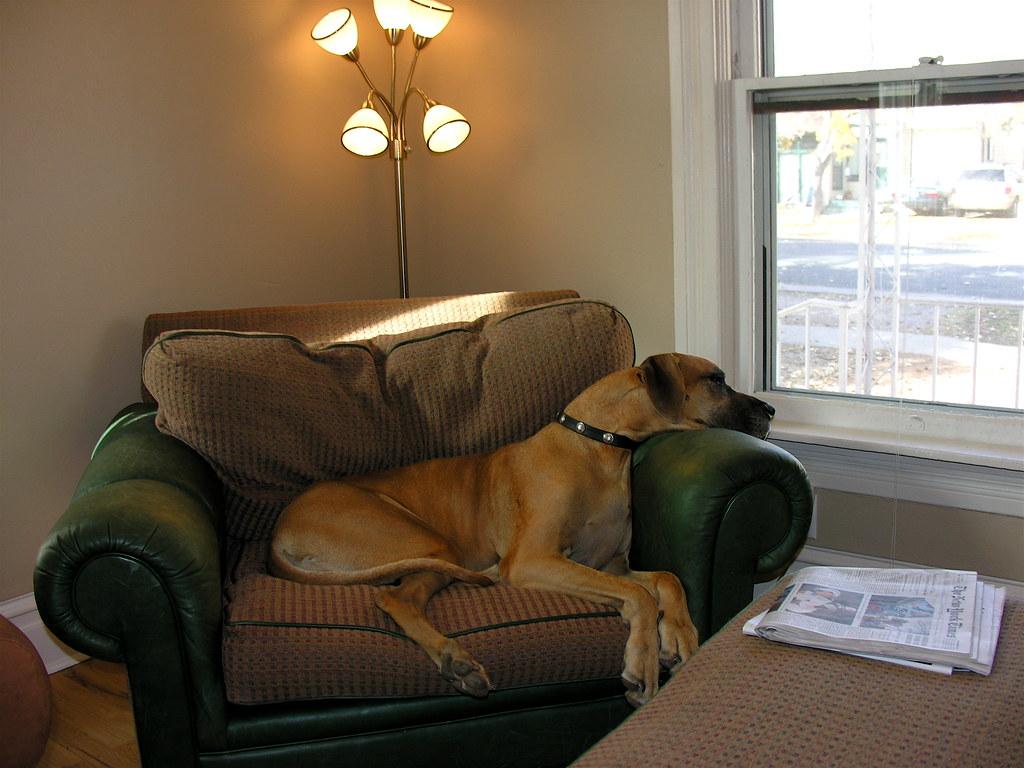 great dane dog house