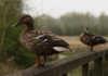duck feeder
